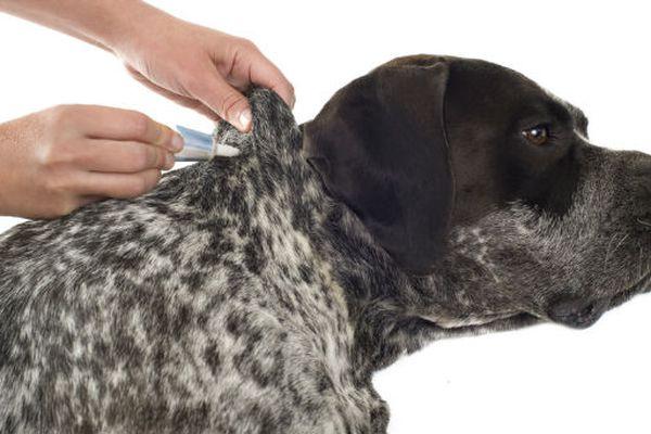 Uova di pulci nel cane: come sono e come eliminarle