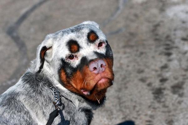 Vitiligine del cane: tutto ciò che c'è da sapere