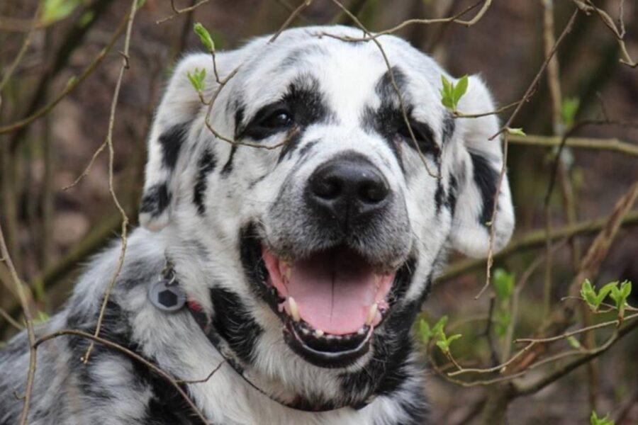 cane con il pelo bianco e nero