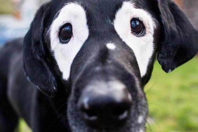 labrador con macchie bianche intorno agli occhi