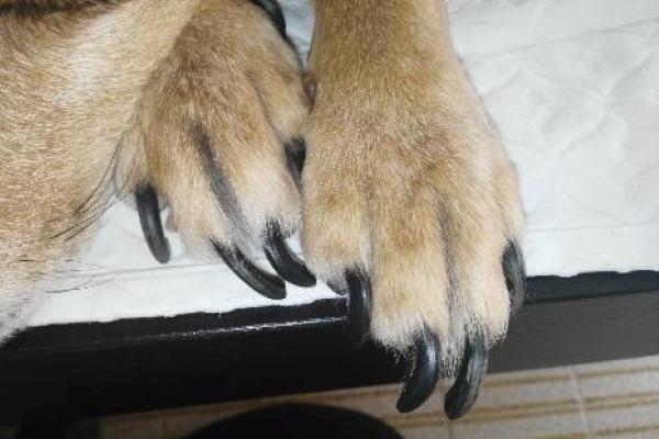 Stenosi cervicale nel cane: cause, sintomi, diagnosi e cura
