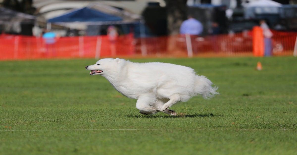 cane che gareggia