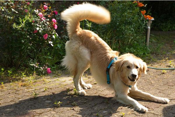 cane e acidosi lattica