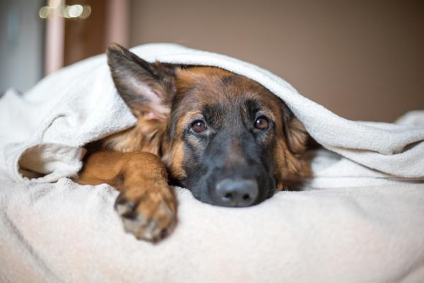 Acidosi lattica nel cane