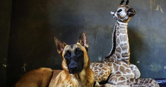 Cane Hunter con una giraffa