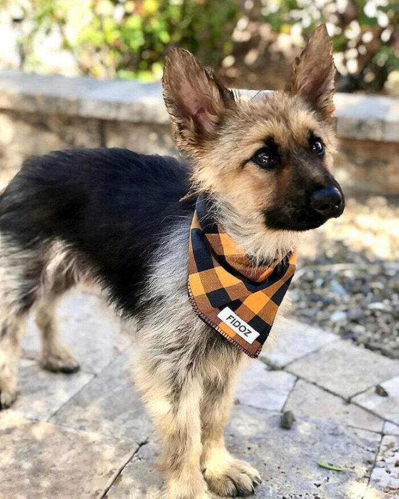 Ranger, il cane affetto da nanismo che sarà per sempre un cucciolo