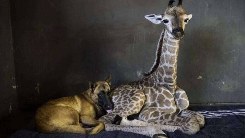 Hunter, il cane amico di una giraffa con la quale condivide il dolore di un abbandono