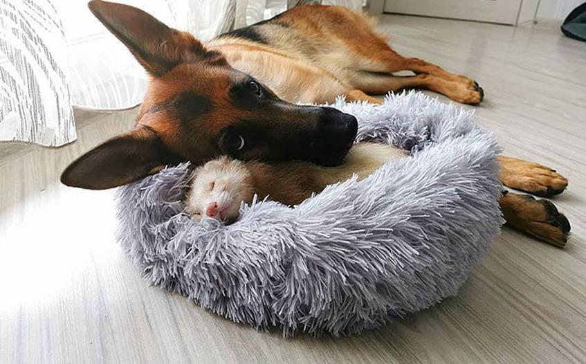 Cane che gioca con un furetto