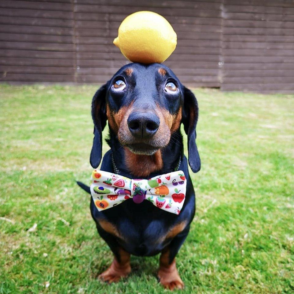 Cane che tiene un limone sulla testa