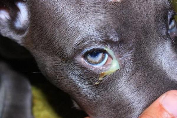 Colliri umani per cani, si possono usare o è pericoloso?