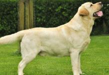 Il cane Marley