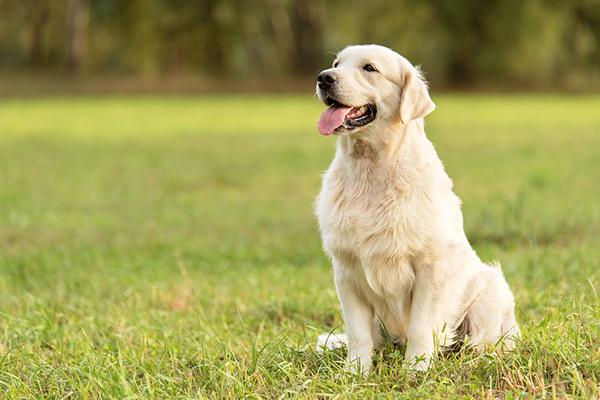 Modi per insegnare al cane a stare seduto