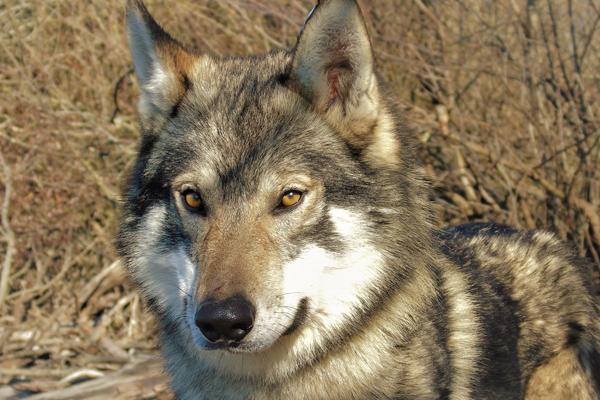 cane lupo cecosclovacco