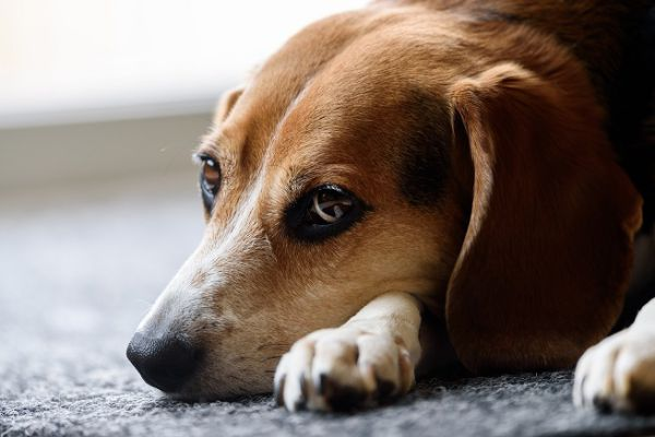 Rompun per cani: cos'è, a cosa serve, quando si usa