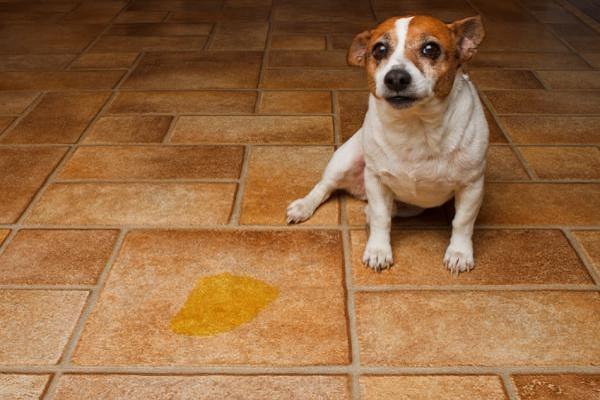 cane che ha fatto pipì su pavimento