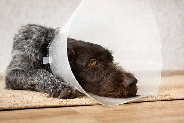 cane con collare elisabettiano