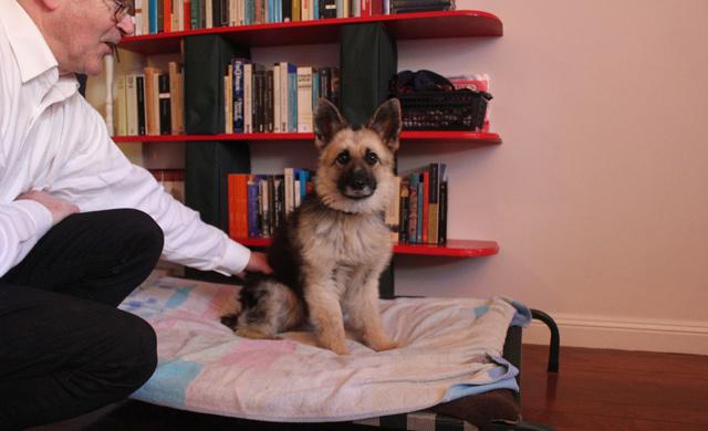Ranger cucciolo per sempre: la storia del pastore affetto da nanismo