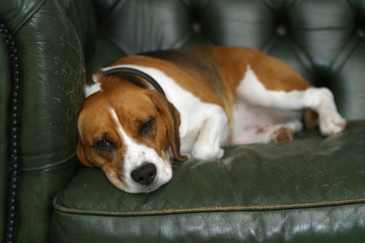 beagle sul divano
