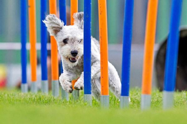 cane corre tra i paletti