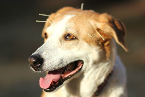 Agopuntura per il cane: come funziona? Serve davvero?
