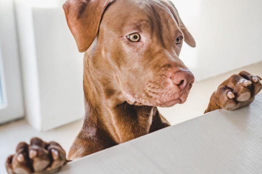 cane con le zampe sul tavolo