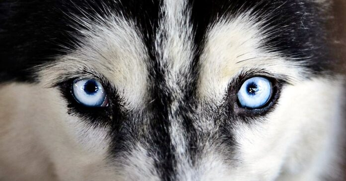 cane siberian husky