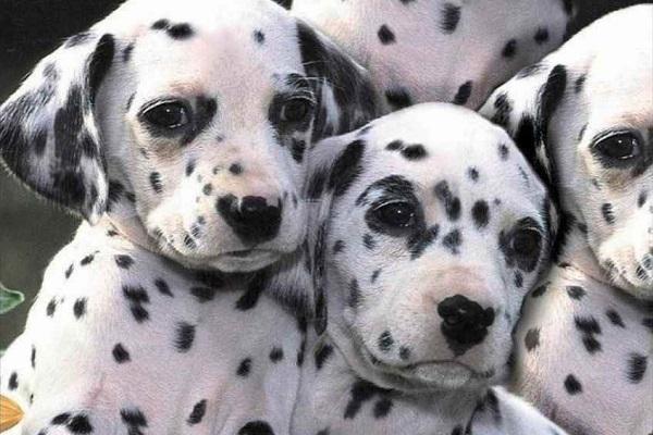 Allevamento selettivo del cane: cos'è e come ha cambiato Fido