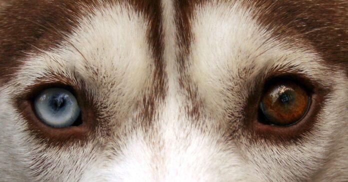 eterocromia cane