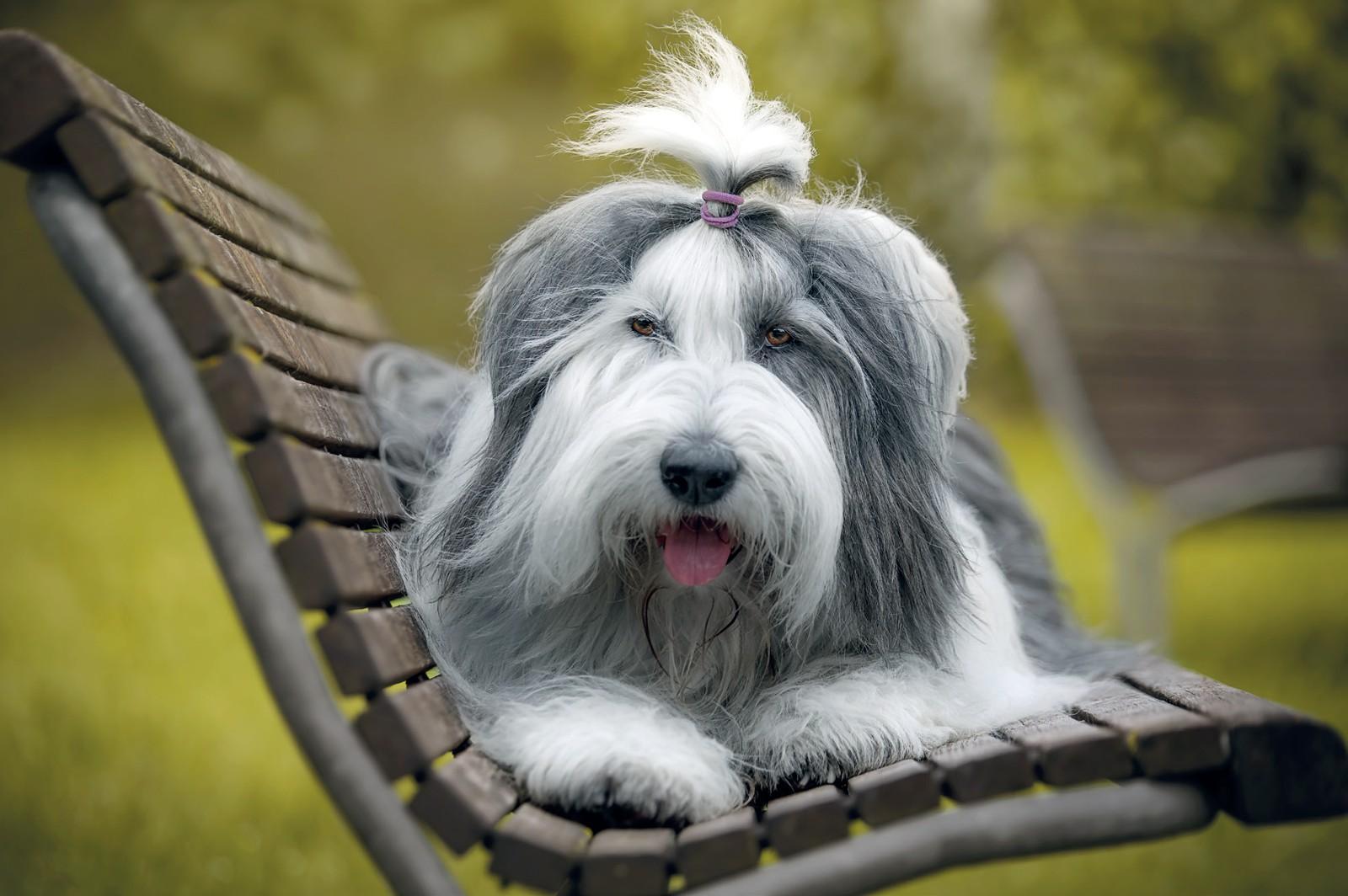 cane Bobtail accucciato su panchina in legno