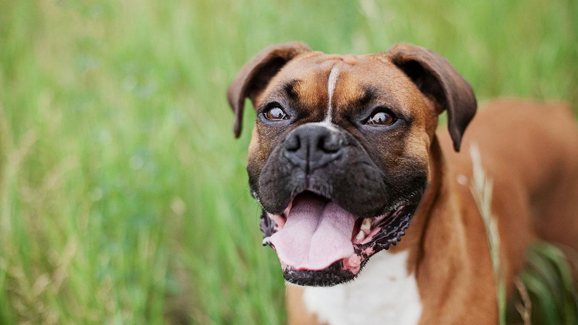primo piano di cane Boxer