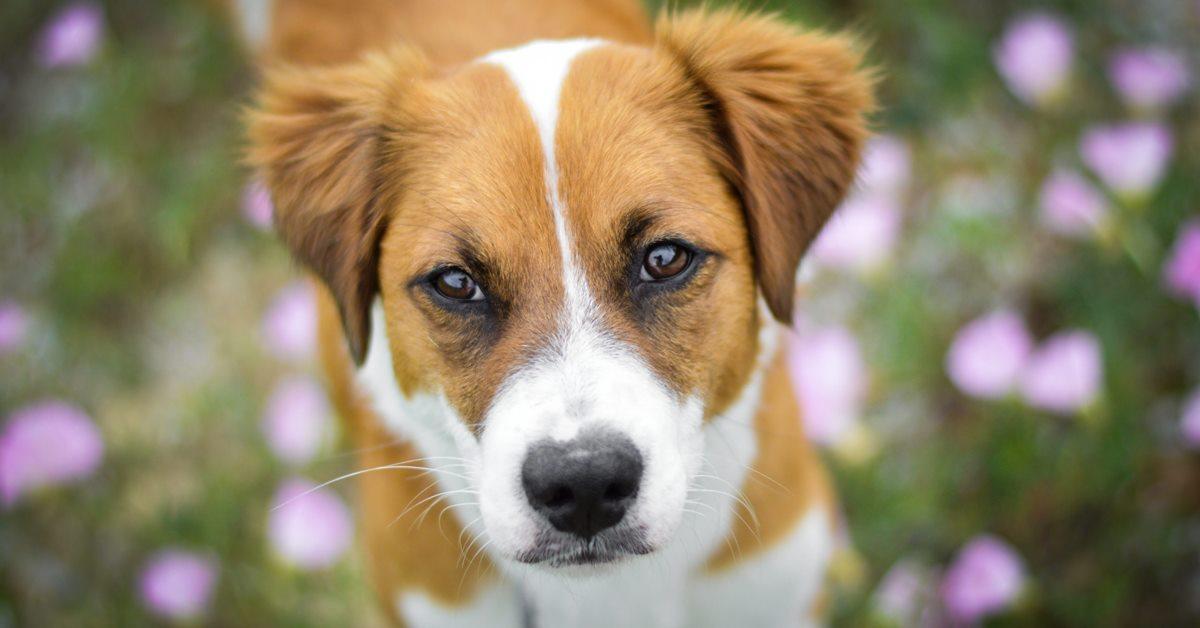 cane con la filariosi