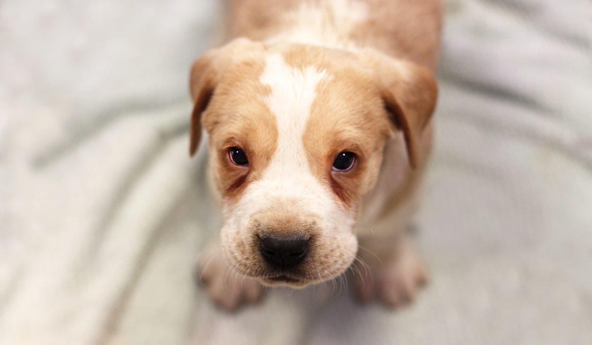 cucciolo di cane con il parvovirus