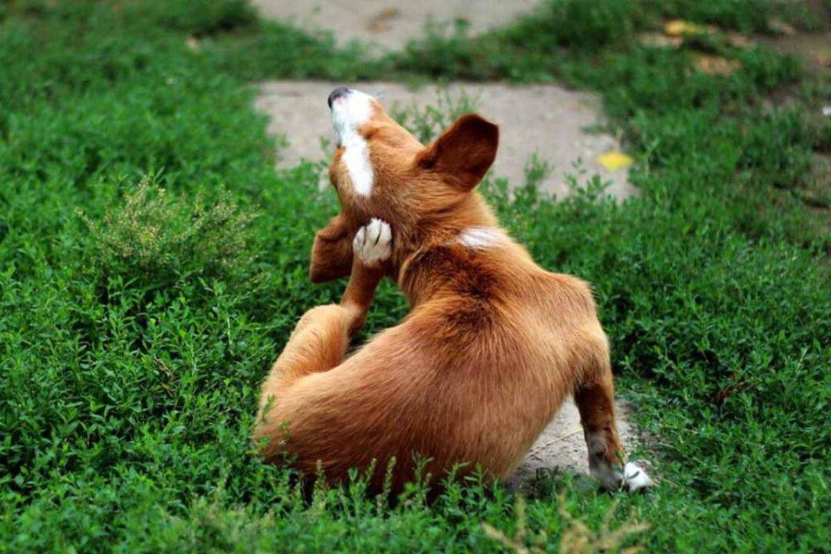 cagnolino che si gratta l'orecchio