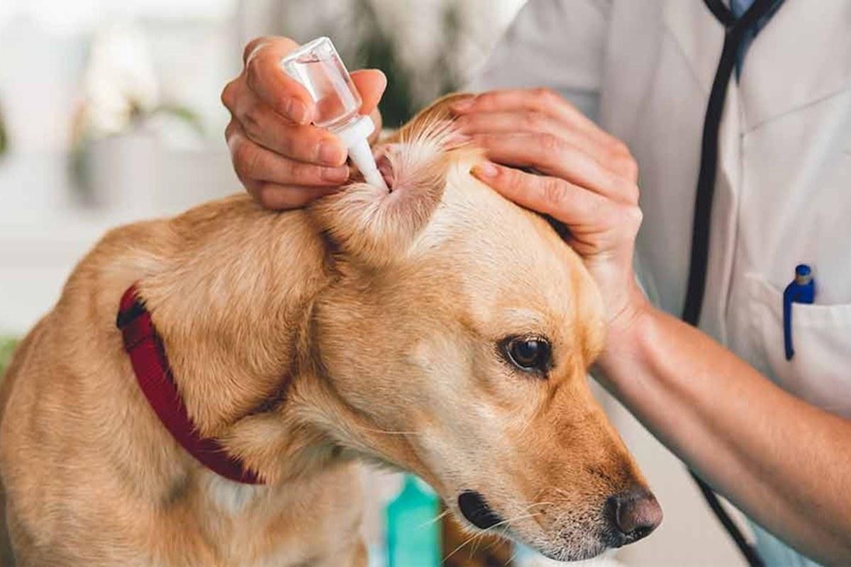 mettere le gocce auricolari al cane
