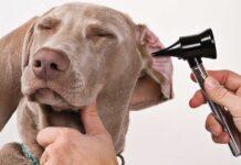 veterinario controlla le orecchie del cane