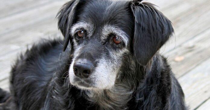 cane anziano con il pelo grigio sul muso