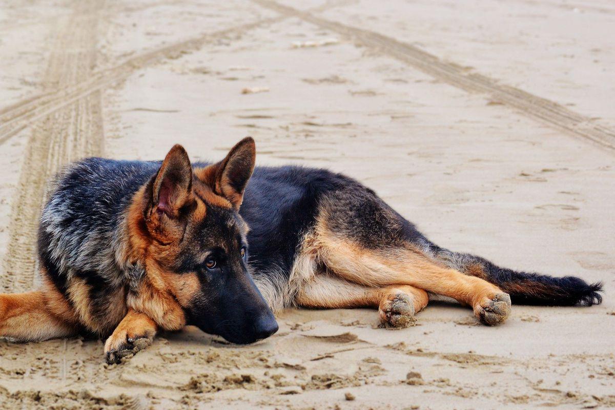 cane pastore tedesco annoiato