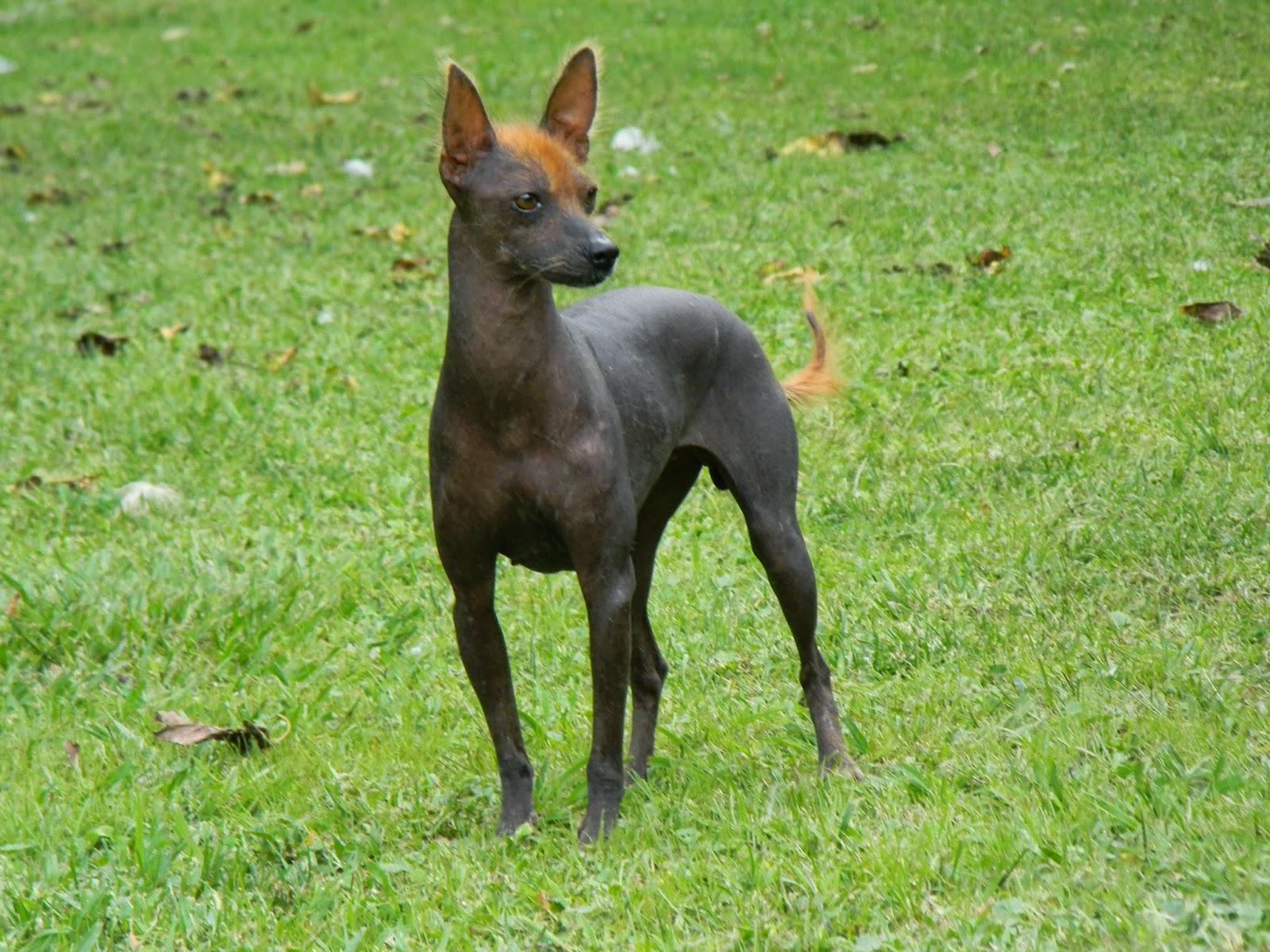 esemplare di cane nudo peruviano