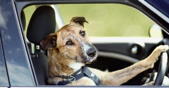 cane-si-impossessa-dellauto-e-guida-nel-viale-per-circa-unora