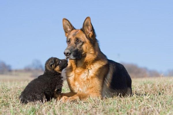 pastori tedeschi cani