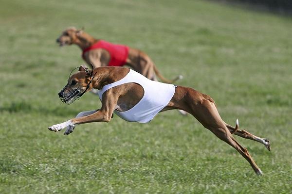 cani levrieri da corsa