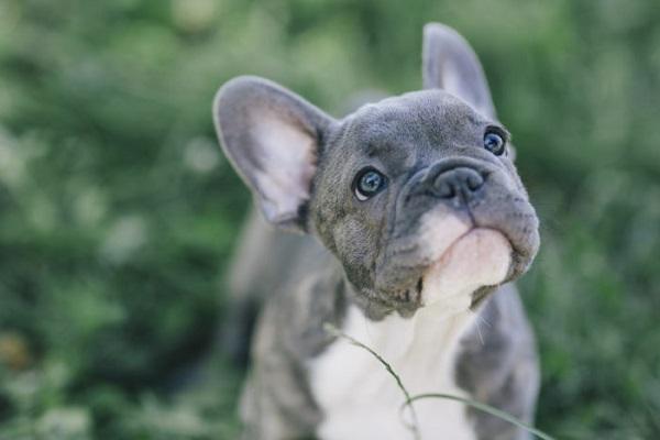 bulldog francese cane