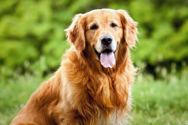 Razze di cani amichevoli: i quattro zampe più affabili