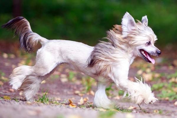 cane crestato cinese