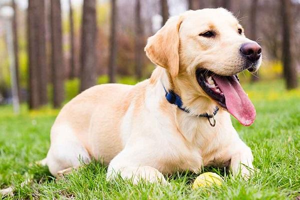 Labrador retriever cane