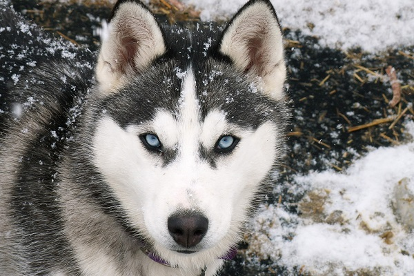 cane husky siberiano