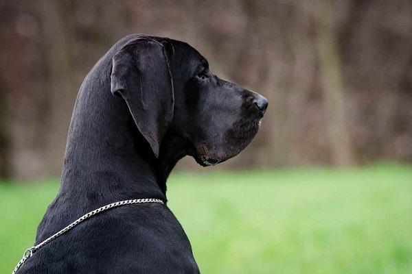 cane alano