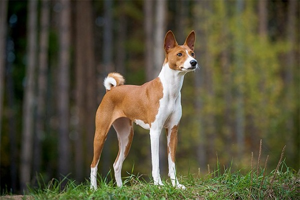 Basenji cane
