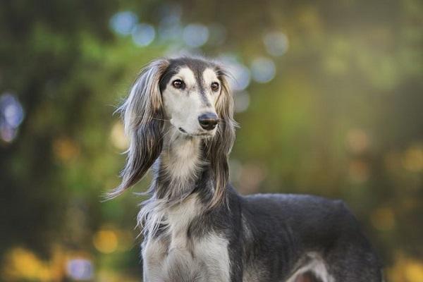 cane levriero