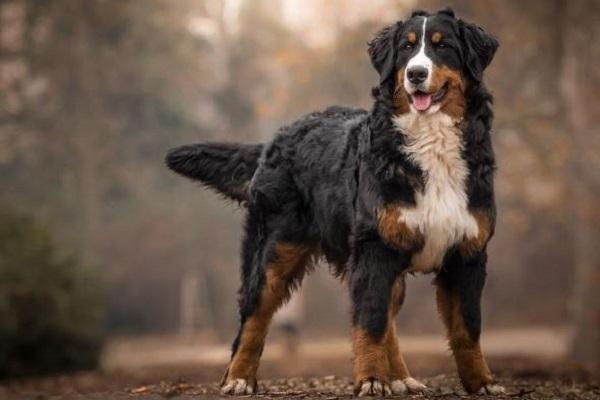 Bovaro del Bernese cane